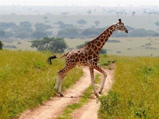 giraffes encounter whilst on a game drive in Murchison Falls National Park