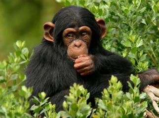 Ngamba Chimpanzee Sanctuary Excursion